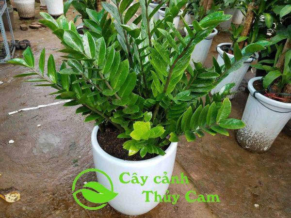 Cây Kim phát tài có tên gọi khoa học là Zamioculcas zamiifolia
