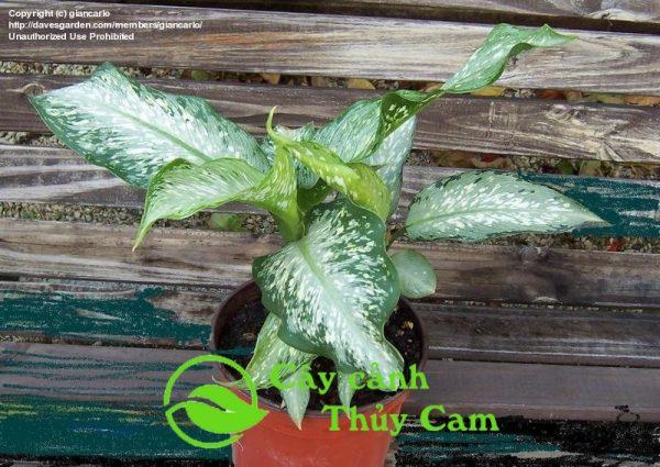 Cây vạn niên thanh có tên khoa học Dieffenbachia Amoena