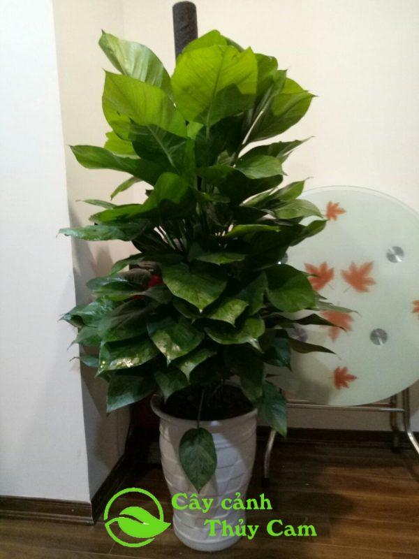 Cây vạn niên thanh leo thuộc dạng thân leo và lá xanh quanh năm