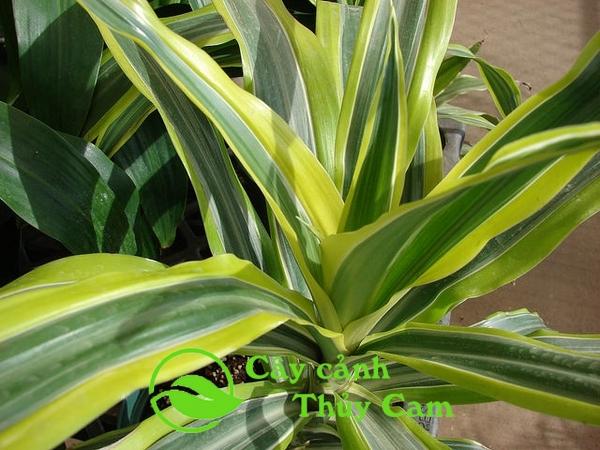 Cây thiết mộc lan có tên khoa học là Dracaena fragrans