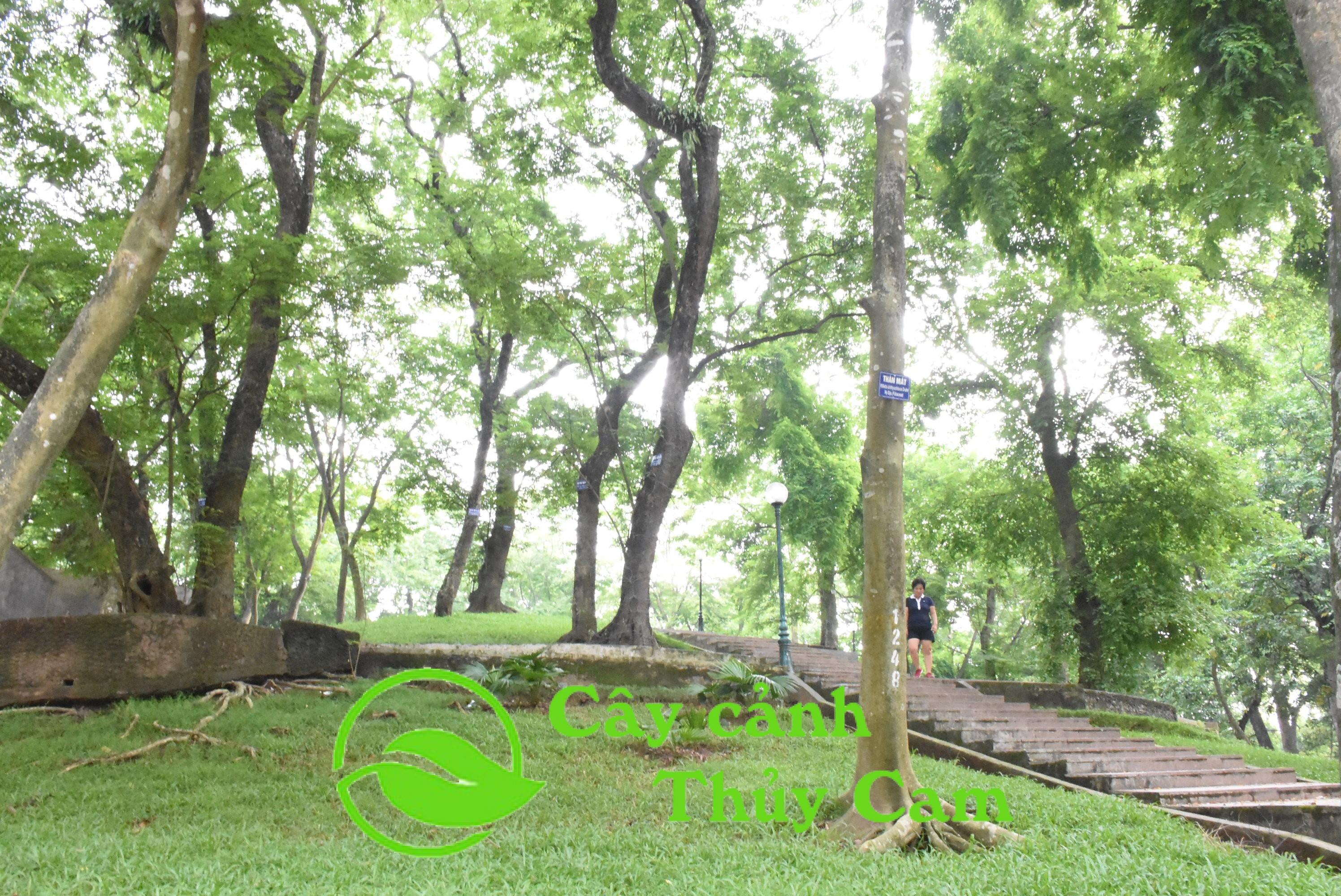 Cây sưa đỏ được trồng để mang tới bóng mát trong các công viên, vỉa hè, đường phố
