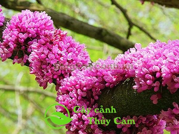Hoa hạnh phúc mọc tràn lan trên thân cây, tạo thành chuỗi hoa khổng lồ