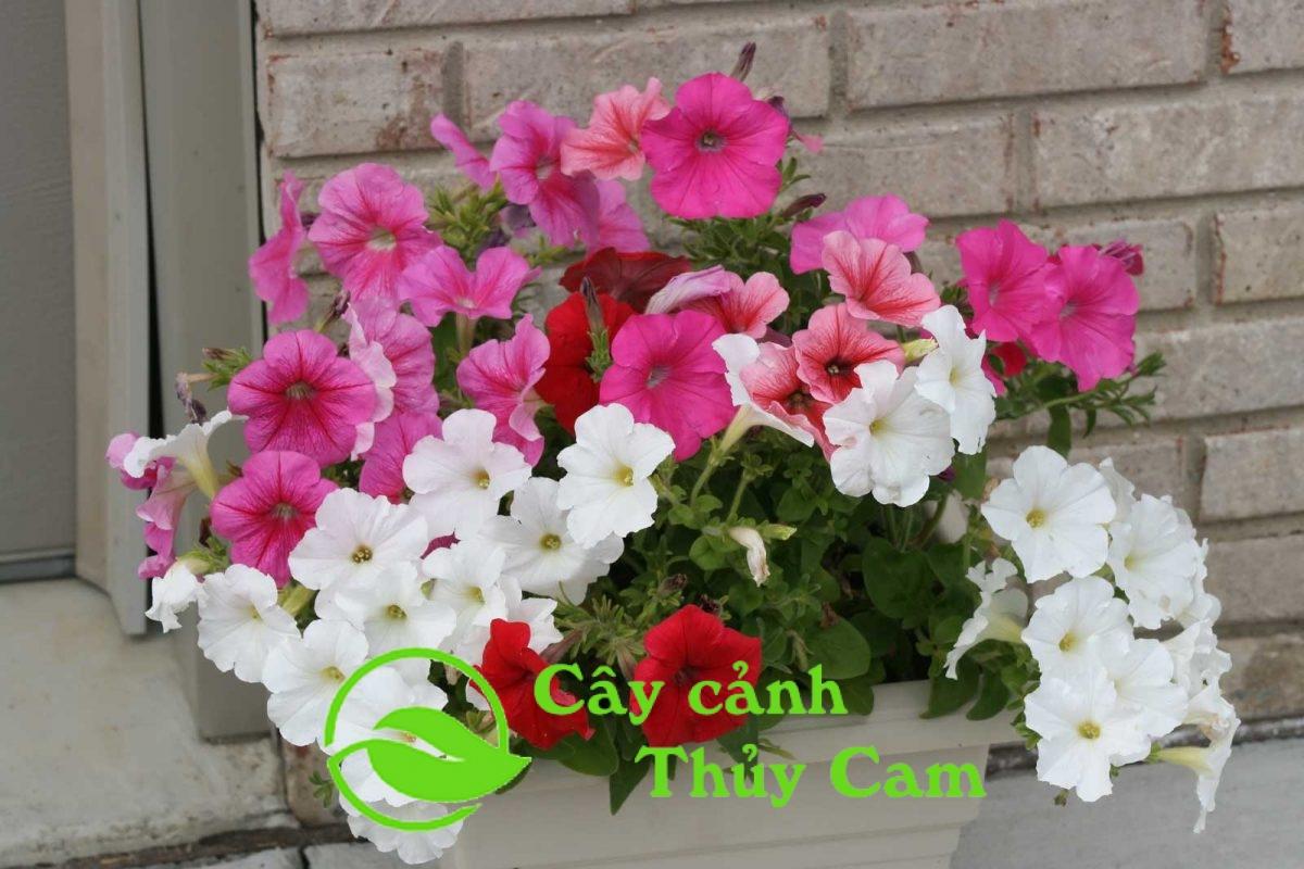 Hoa dạ yến thảo là cây hoa thân thảo lâu năm