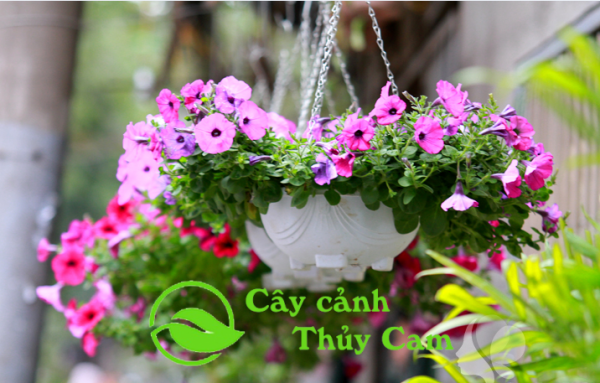 Hoa dạ yến thảo với nhiều màu sắc khác nhau