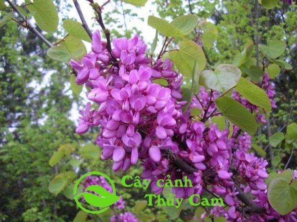 Hoa hạnh phúc màu hồng tím khá giống hoa khế