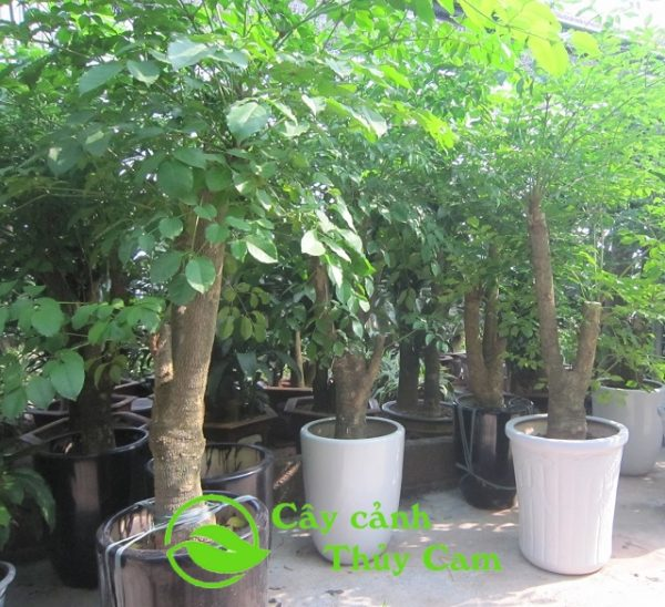 Cây hạnh phúc thân gỗ cao từ 1,8m đến 2,5m