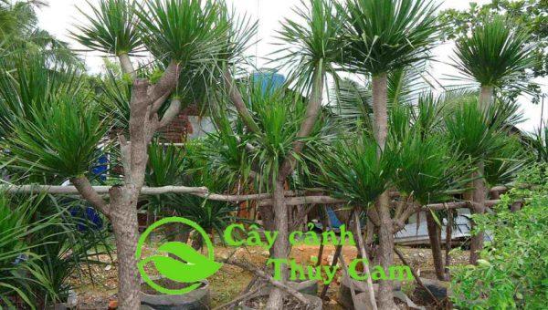 Cây phát tài núi thân gỗ cao 1-5m