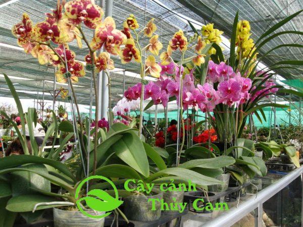 Hoa lan hồ điệp là loại phong lan có hoa đẹp nhất