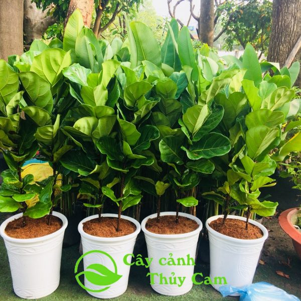 Cây bàng singapore ít lá nên rất dễ chăm sóc