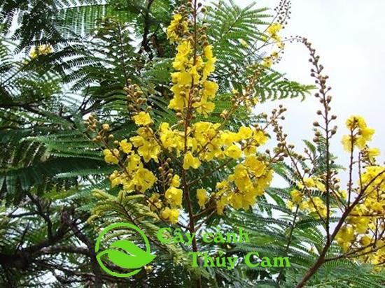 cây Lim Xẹt