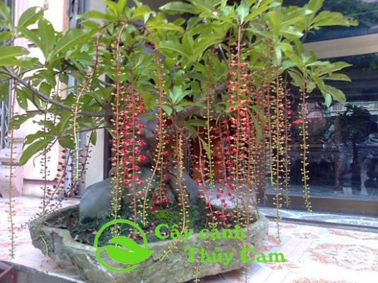 cây Lộc Vừng