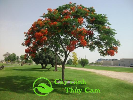 cây Phượng Vỹ
